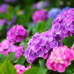 紫陽花が白になるのは何で?原因は土にある!?