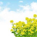 花束は花言葉で選ぼう!菜の花は小さな幸せ